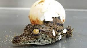 Une boule chocolat et une boule aux œufs de crocodile, s'il vous plaît