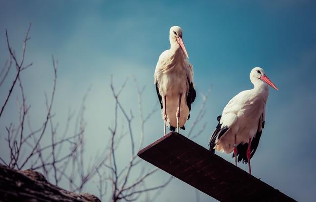 L'amour longue distance de deux cigognes