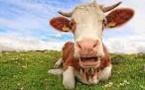 Pour en finir avec les pets de vache
