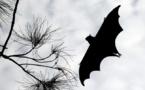 Les chauves-souris, insecticides naturels