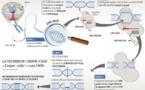Le couteau suisse génétique